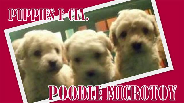 poodle microtoy - filhotes