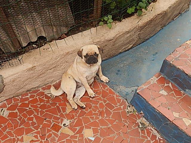 pug femea com 09 meses com pedigree linda