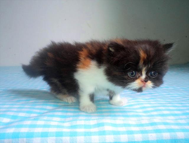 gato persa fêmea disponível gatil esperanza salvador / lauro de freitas / bahia
