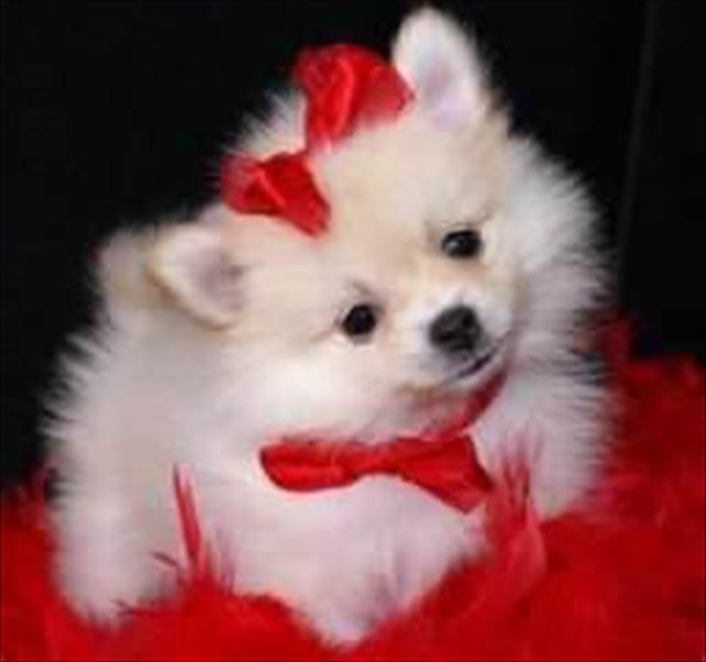 adorável filhote de cachorro spitz