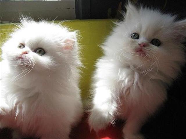 gatinhos persa macho e f�mea