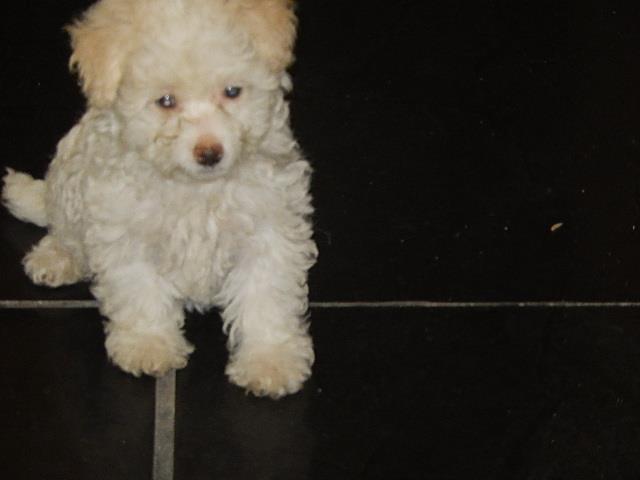 poodle micro toy linda femea 03 meses e meio a venda
