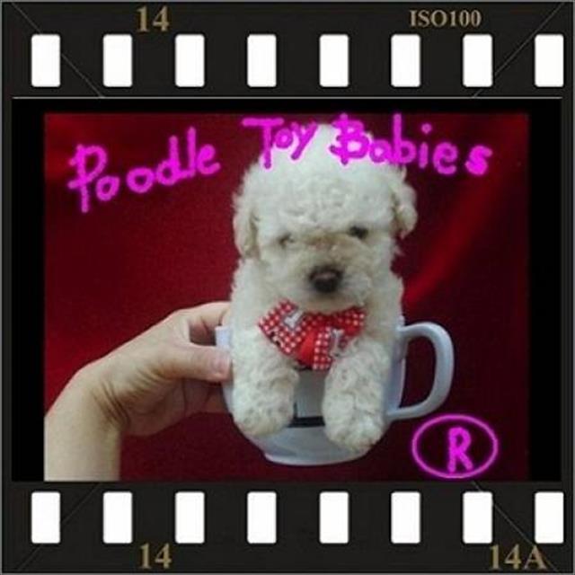canil especializado em poodle micro e toy especializado lovpuppies(22)9 8805-9406 (21)9 8773-6397