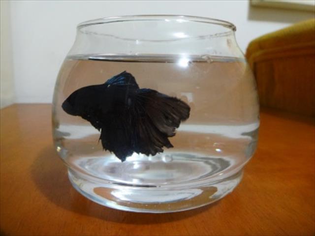peixe beta s´çemders, crowtail.black,fly especial