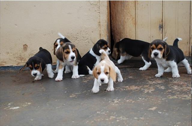 beagle belos filhotes