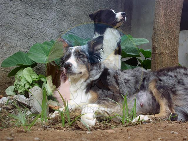 filhotes de border collie com pedigree cbkc
