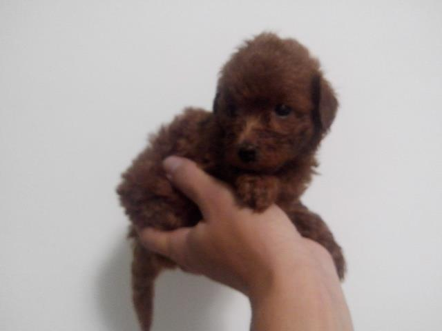 poodle toy red vermelho