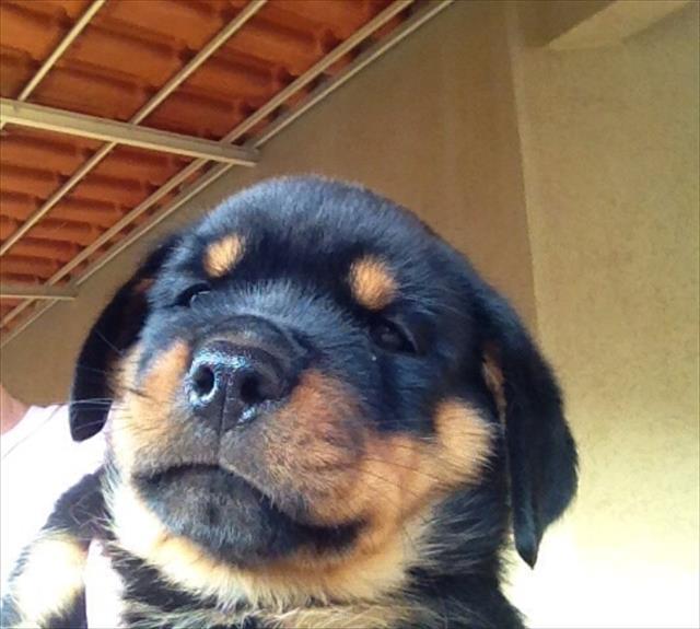 lindo filhote de rottweiler macho com excelente pedigree, preço especial!