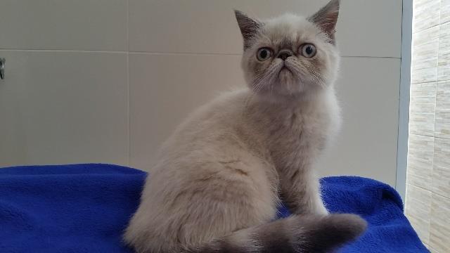 gata exótica padrão show olhos azuis