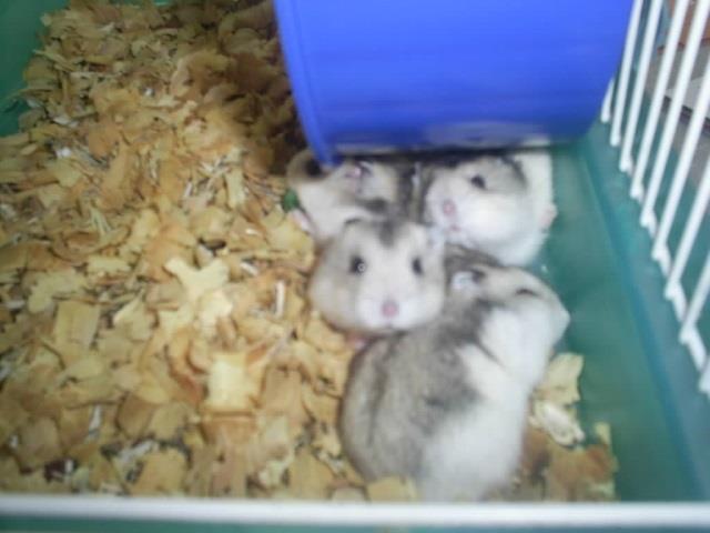 hamster a venda