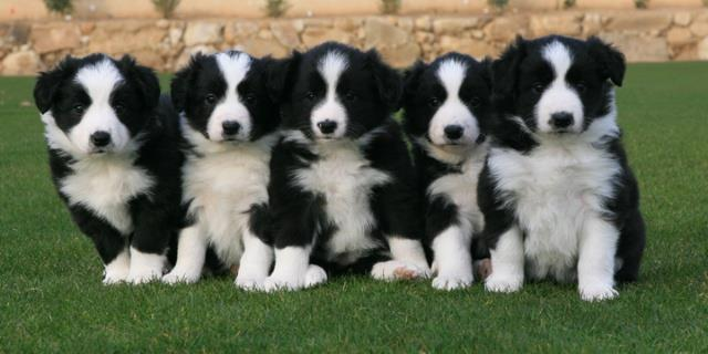 os filhotes de border collie