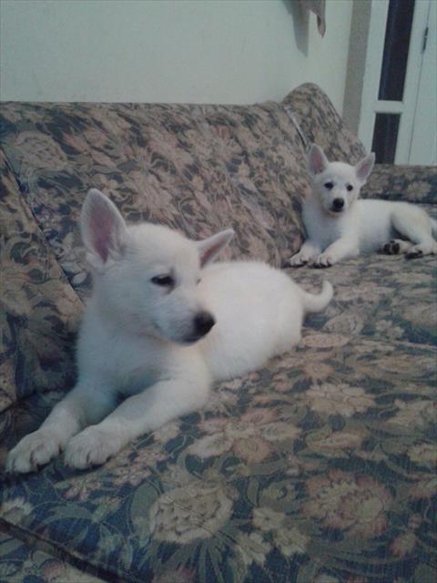 filhotes de pastor suiço branco