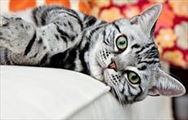 gato american shorthair lindos filhotes