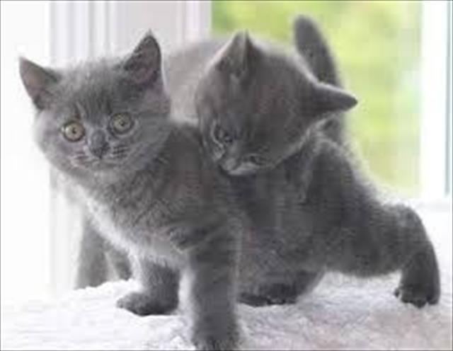 gato british shorthair lindos filhotes