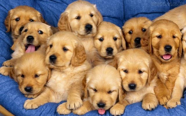 golden lindos filhotinhos