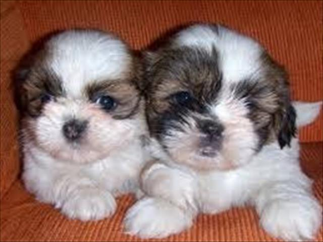 lhasa apso lindos filhotes