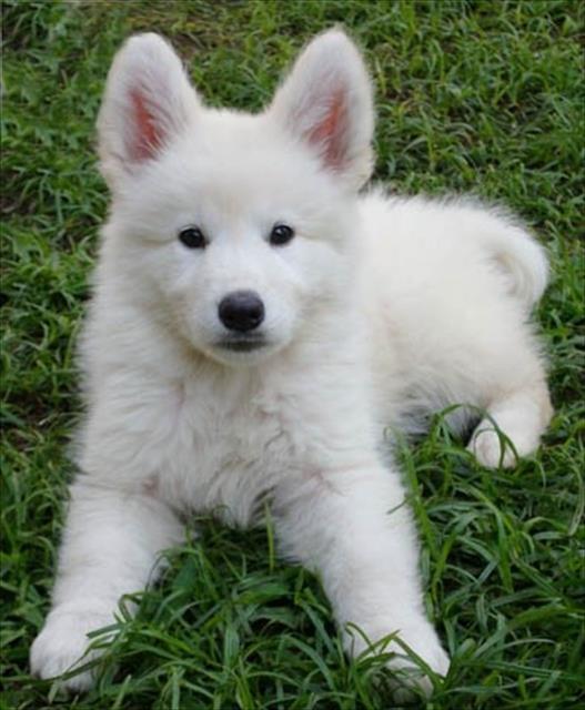 pastor branco lindos filhotinhos