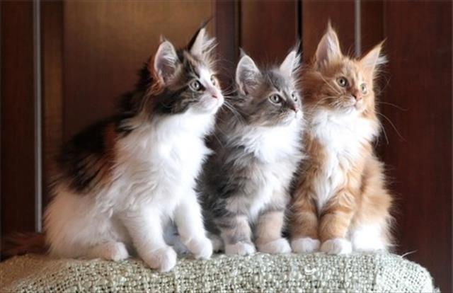 maine coon lindos filhotes