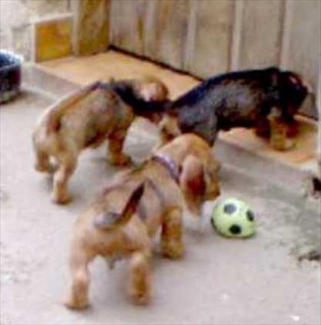 dachshund miniatura de pelo duro com pedigree cbkc