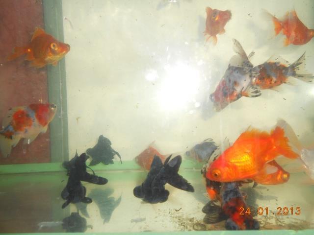 peixes ornamentais ou de corte