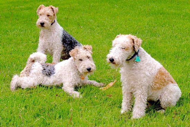 filhotes de fox terrier