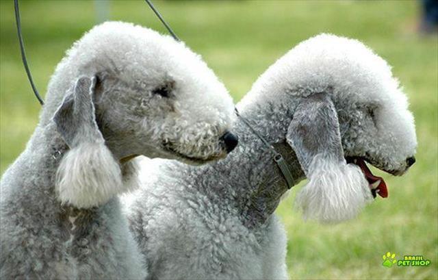 bedlington terrier lindissimos filhotes