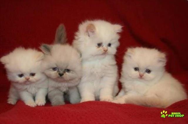 gato persa lindos filhotes