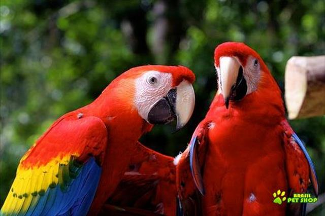 venda de araras e papagaios com excelente pre�o - entrega em aeroporto mais proximo da sua residenci