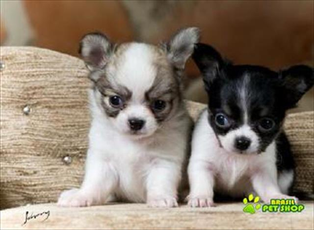 chihuahua lindos filhotes