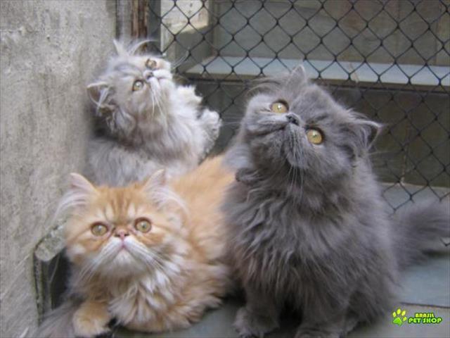 persa lindos filhotes