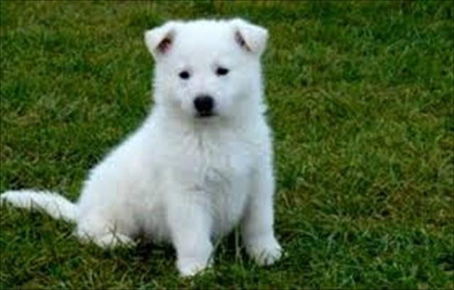 pastor branco lindos filhotes