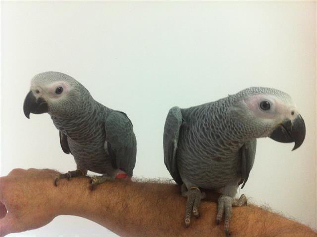 filhotes de papagaio do congo super mansos - promo��o r$7500