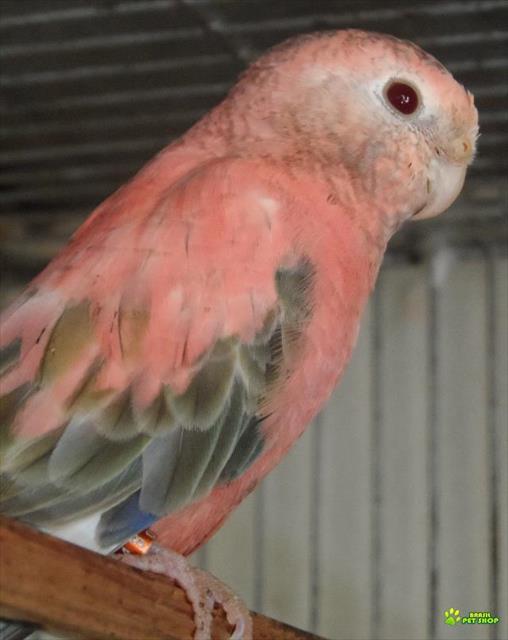 periquitos bourke rosa (anilhados)