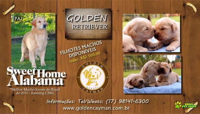 golden retriever - filhotes machos disponíveis para venda, filhos do melhor macho jovem do brasil