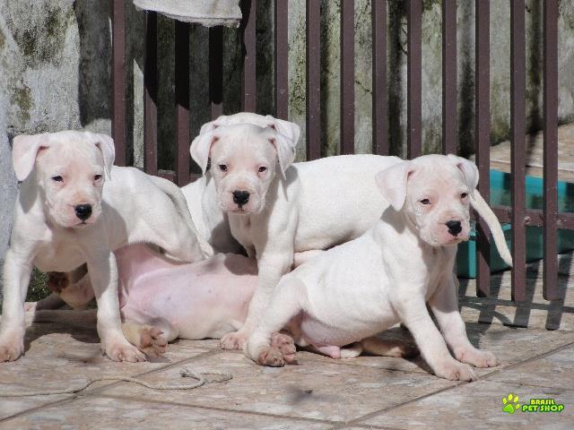 filhotes de dogo argentino c/pedigree vascinados e vermifugados.