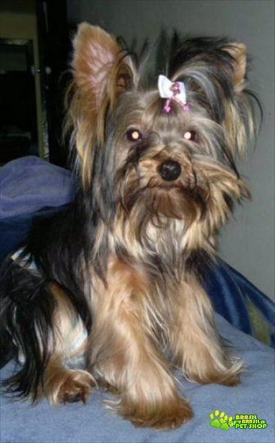 filhote de yorkshire terrier macho e femea