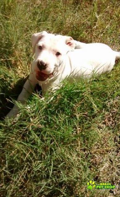 filhote fêmea de dogo argentino c/ pedigree
