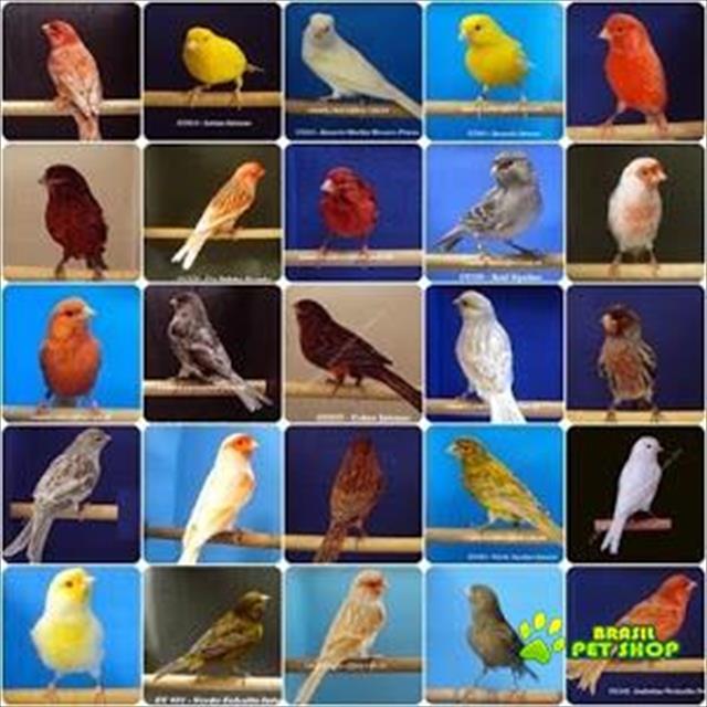 canarios cantando estorado á venda 80,00
