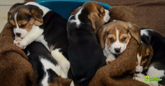belíssimos filhotes de beagle