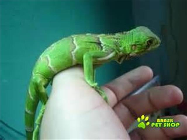 iguana filhote