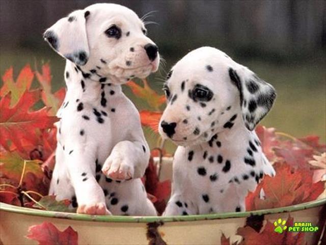 lindos filhotes de dalmata