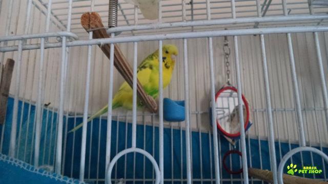 vendo casal de periquitos ingleses, macho azul turquesa e fêmea amarelo intenso. informações in box.