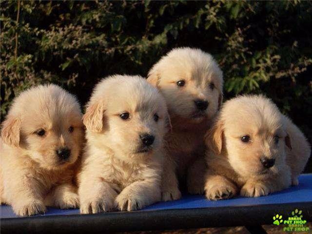 filhotes super fofos de golden