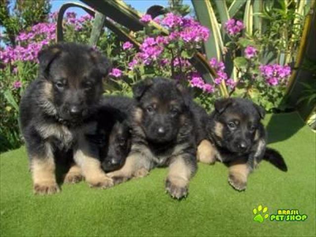 filhotes super fofos de pastor alemão
