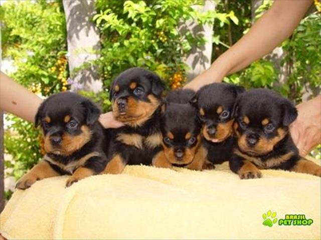 filhotes super fofos de rottweiler