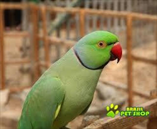 ring neck verde