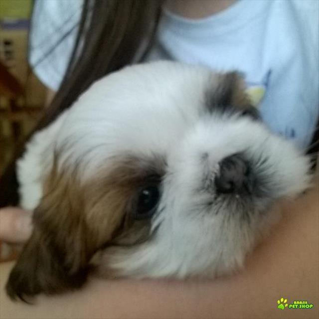 shih tzu (cão chiclete) fêmea e macho nascido 23 e 24 agosto