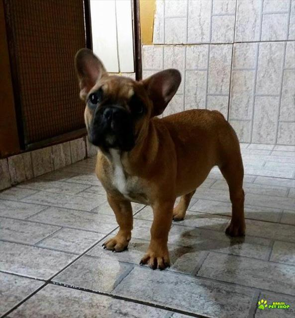 bulldog franc�s f�mea