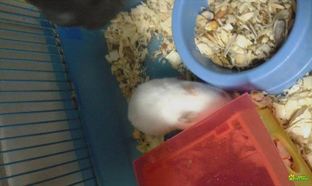 lindos hamsters