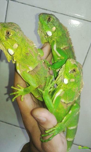 vendo filhote de iguana verde